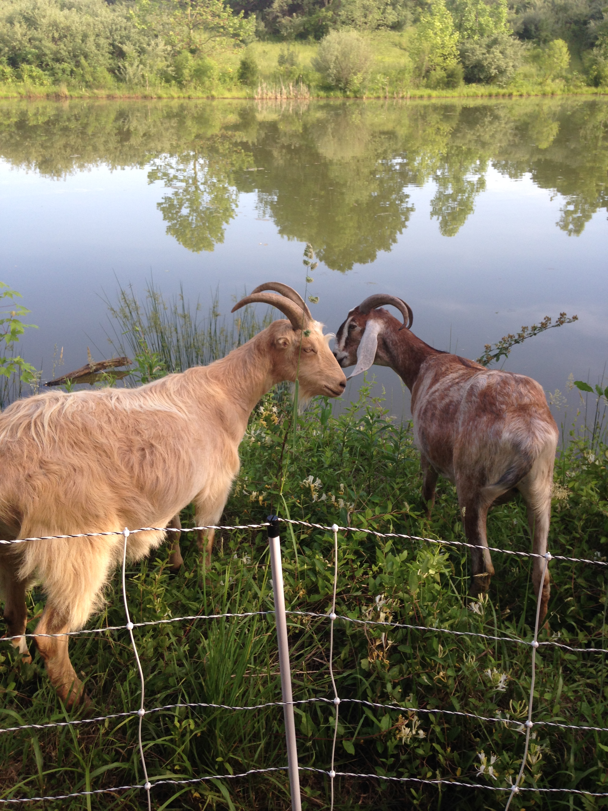 Goats at the springhouse pond